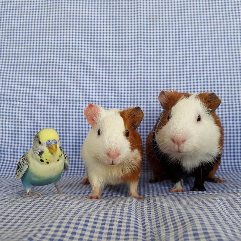 Guinea pits and parakeet