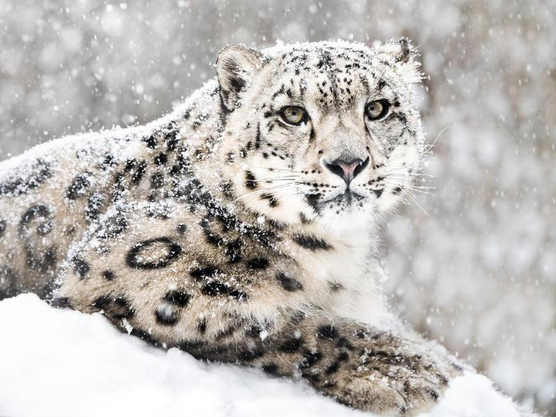 Snow leopard in a snow storm