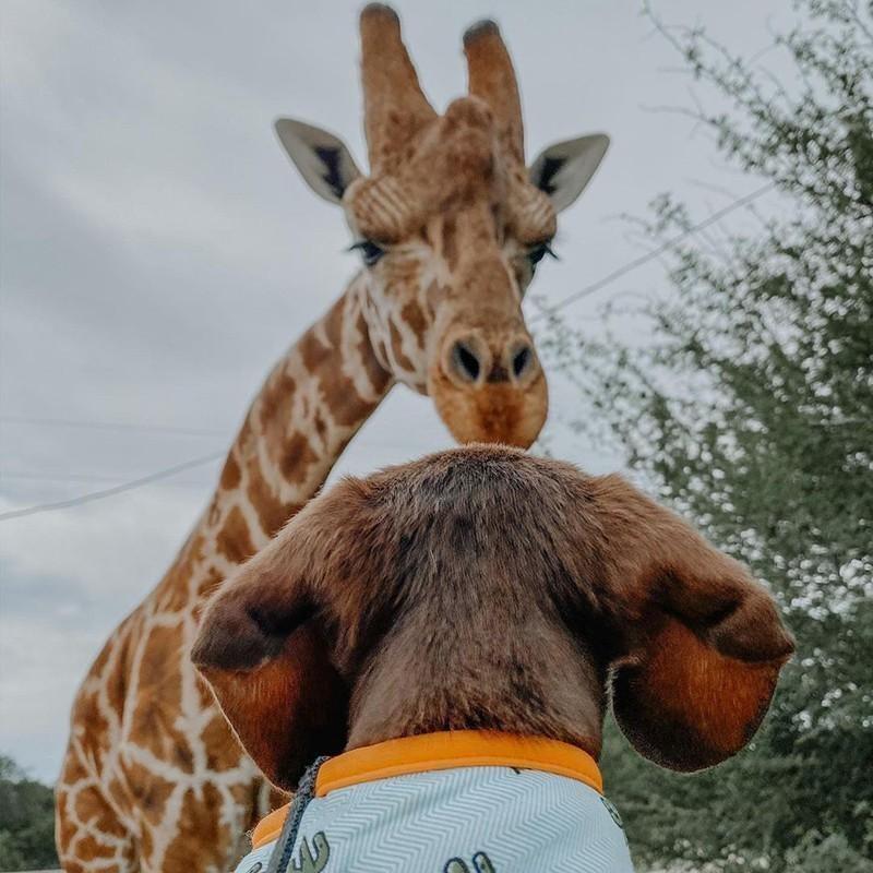 Giraffe and dog