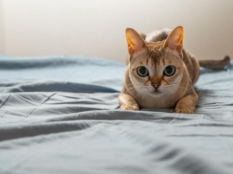 Singapura cat playing on bed