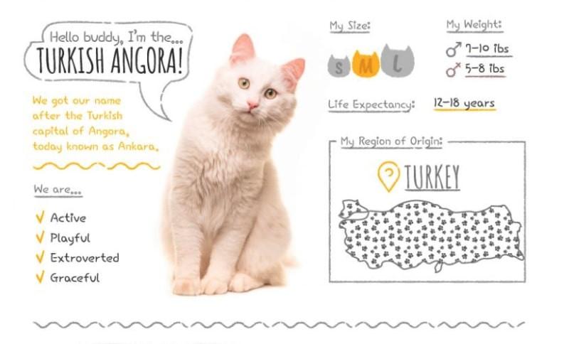 Turkish Angora stats