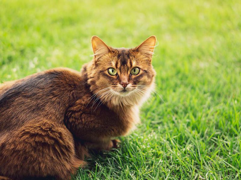 Purebred Somali cat in the grass