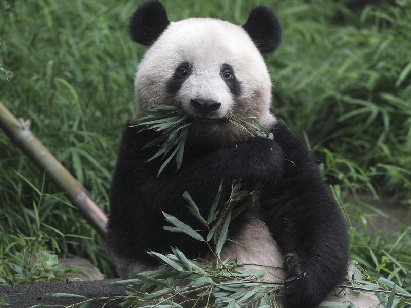 How long do panda bears live?