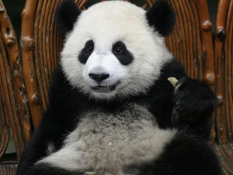 Can you keep panda bears as a pet?