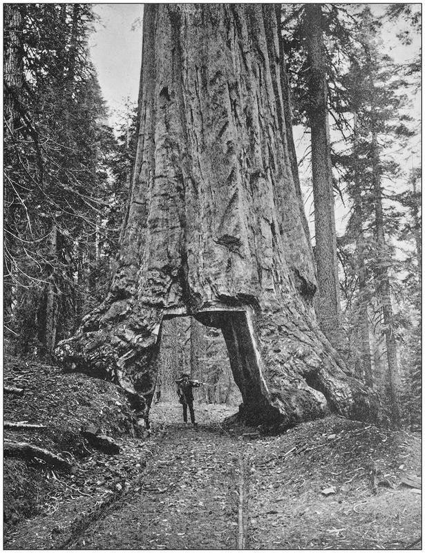 Sequoia - 1890s