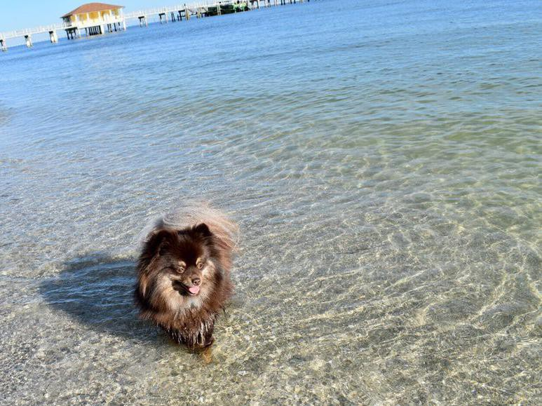 Pomeranian playing in the water