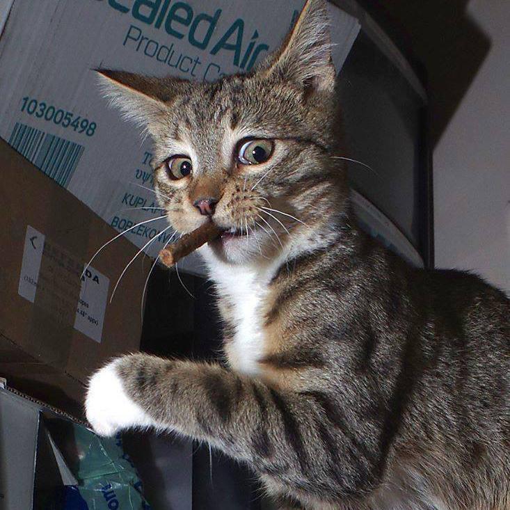 cat cigar