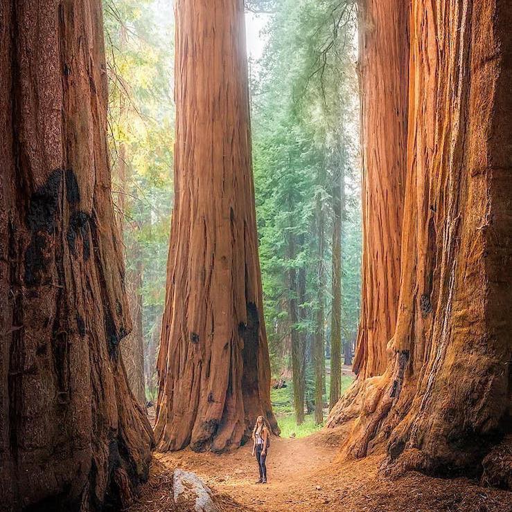 Giant sequoias at Sequoia National Park in California