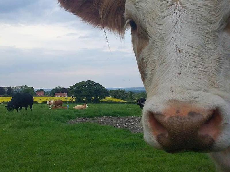 Serious cow photobomb