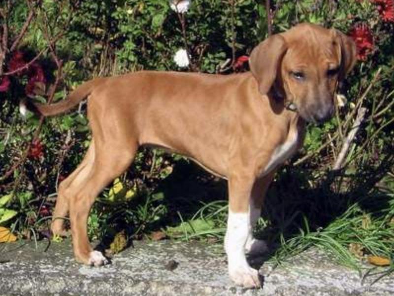 Azawakh Puppy
