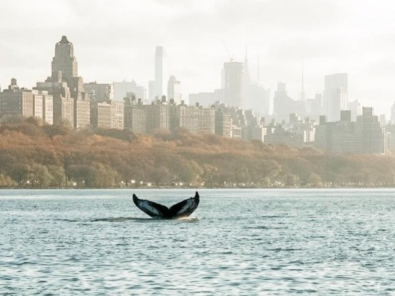 Whale in New York City