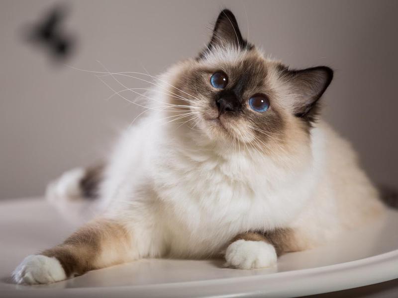 birma cat in interior