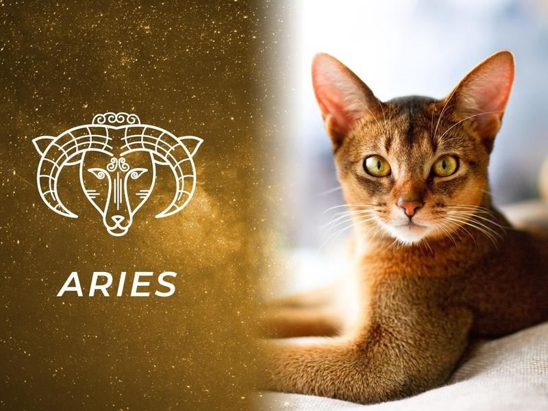Aries: Abyssinian