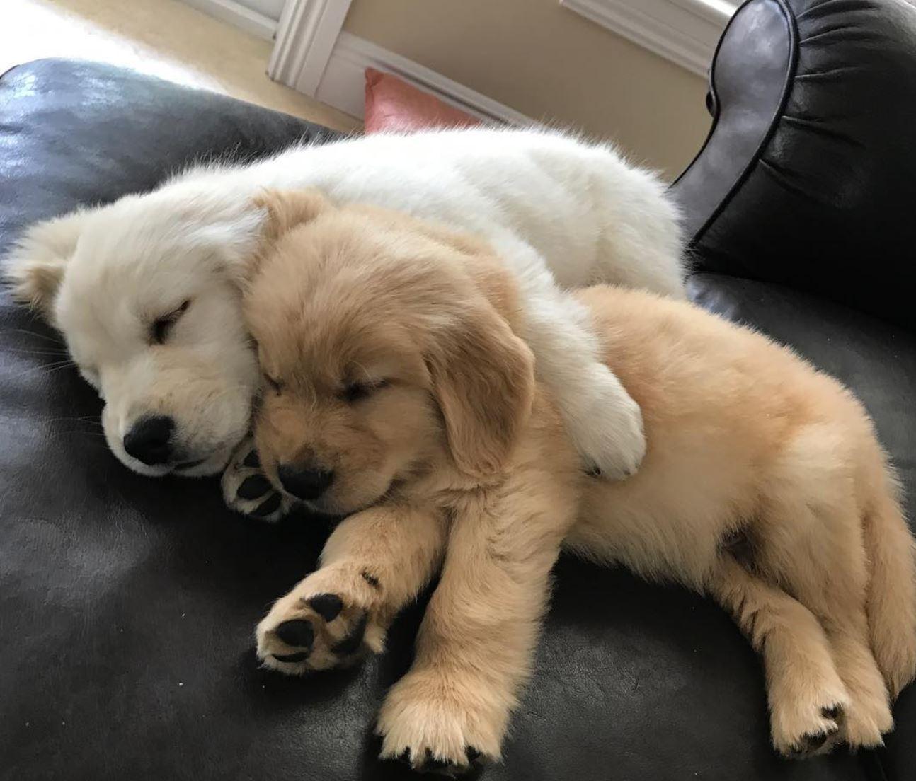 Sleeping golden retrievers