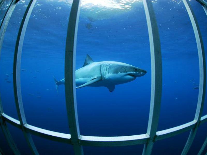 Shark Guadalupe Island