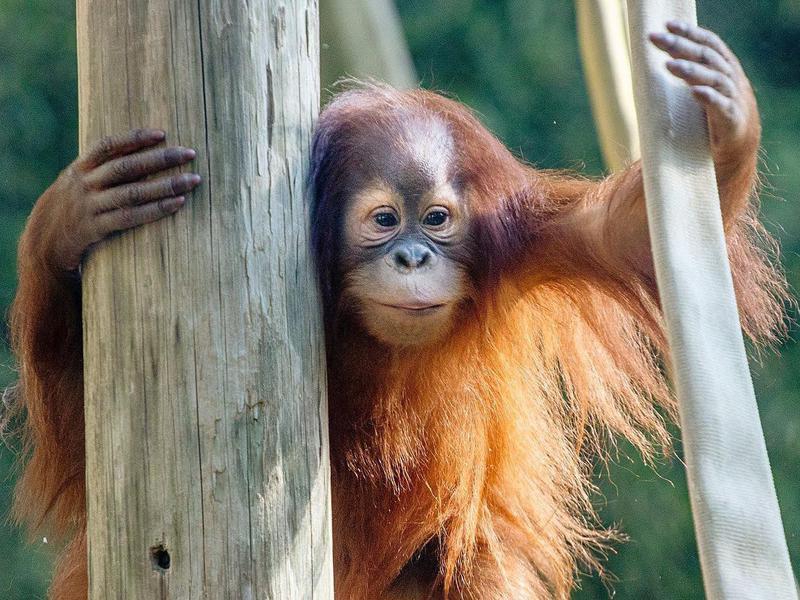 Baby orangutan in zoo