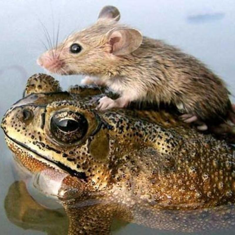 Rat and frog