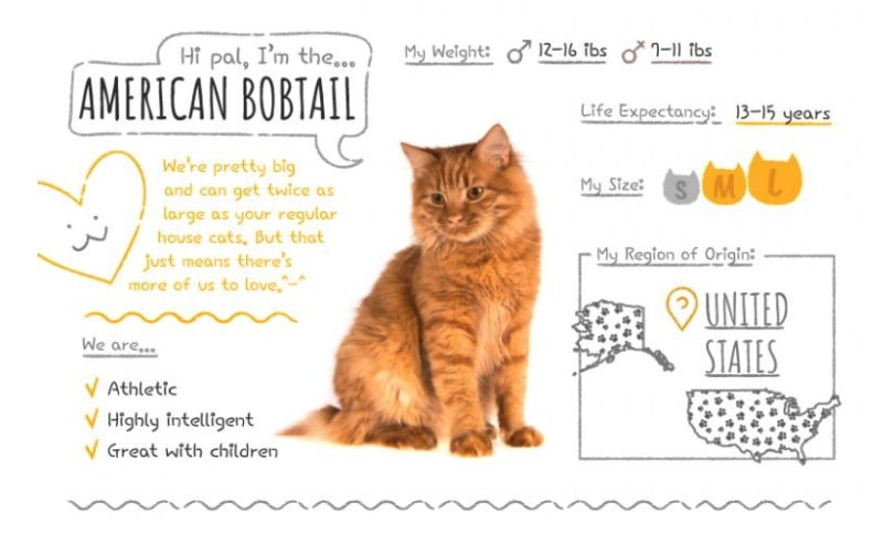 American Bobtail Summary
