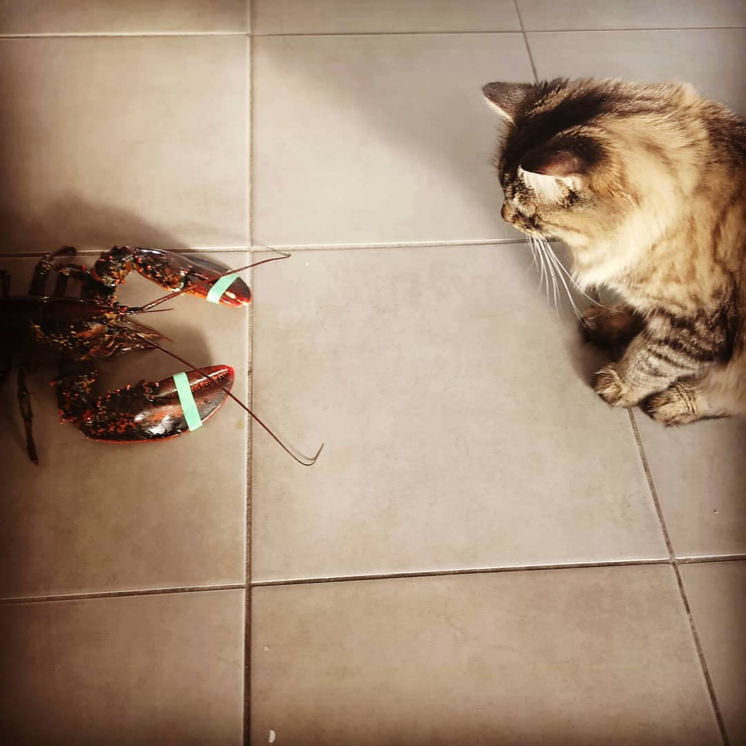 Cat vs. lobster