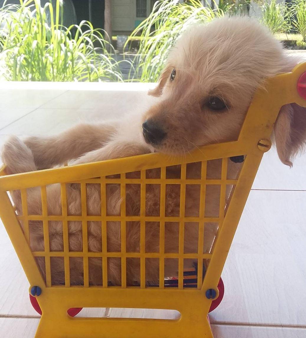 Golden retriever puppy in a cart