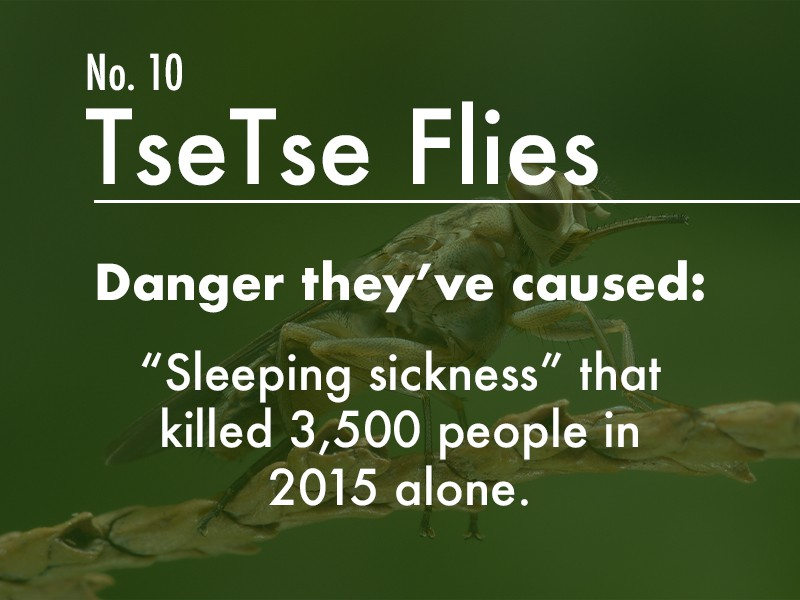 Tsetse fly dangers