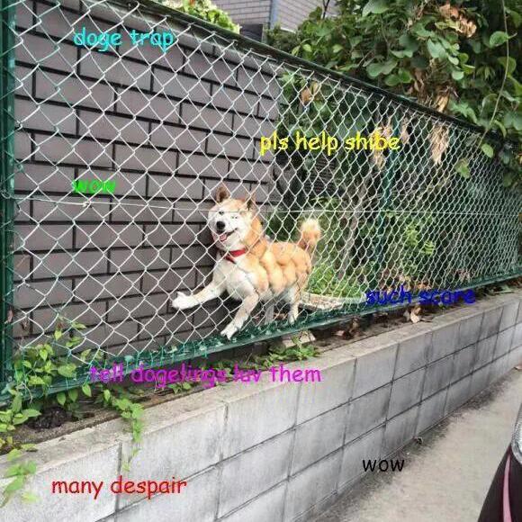 Doge meme stuck in fence