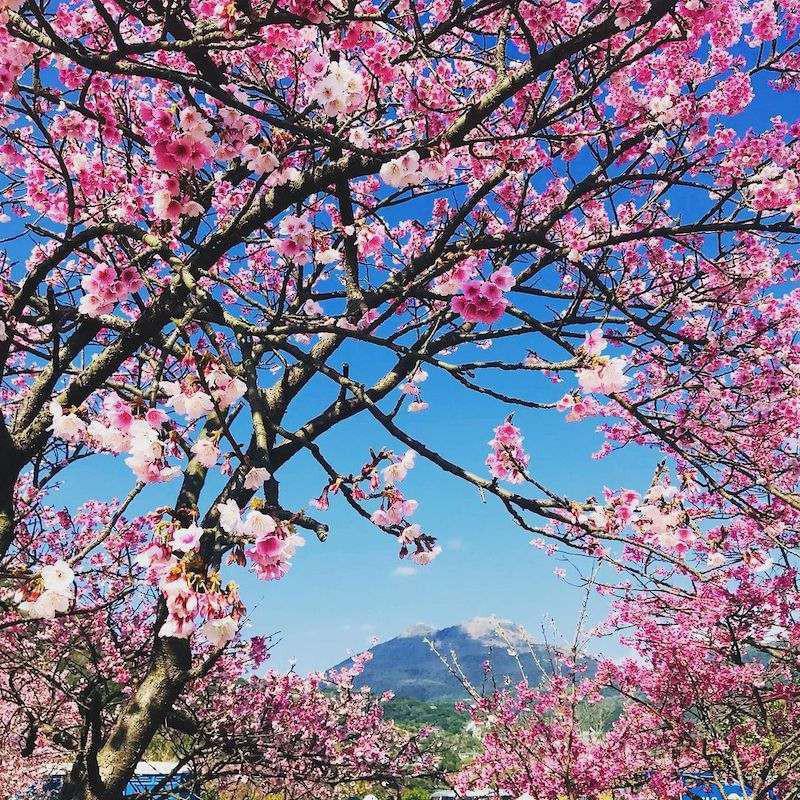Cherry Blossoms at Yangmingshan National Park, Taiwan