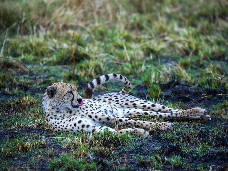 Leopard Lounging Around
