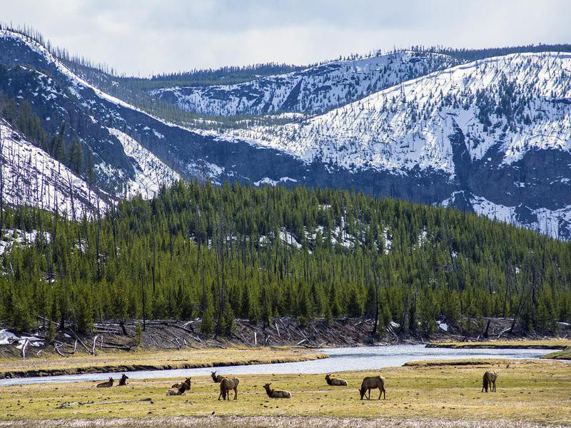 Elk grazing  in Yellowstone National Park