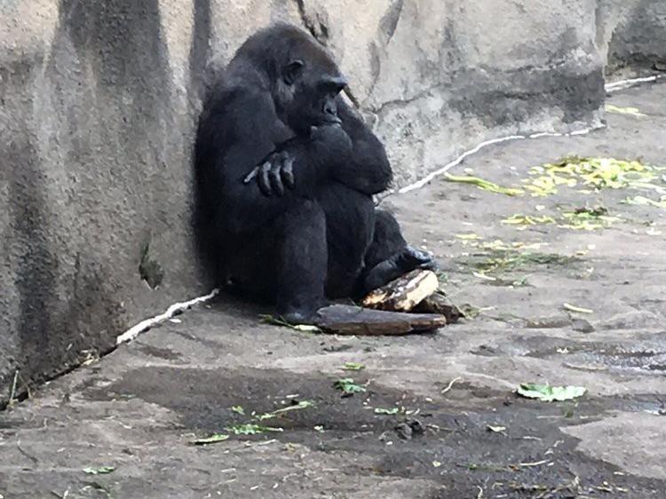 Gorilla at Pittsburgh Zoo