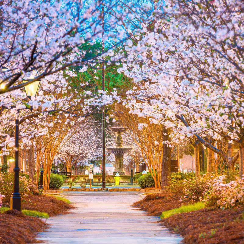 Row of cherry blossoms in Macon, Georgia