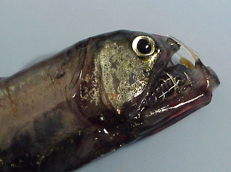 Head of the Pacific Viperfish