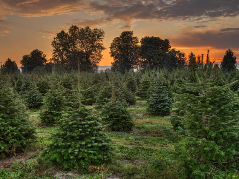 Sustainable Christmas Tree Farming