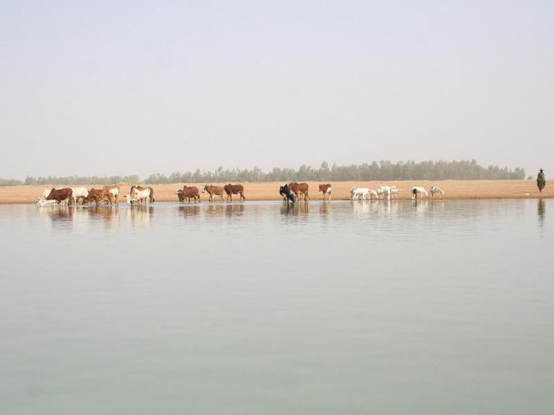 Shepherd and cows on the banks of Niger River