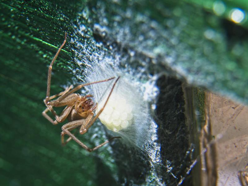 Brown recluse spider watching over its eggs