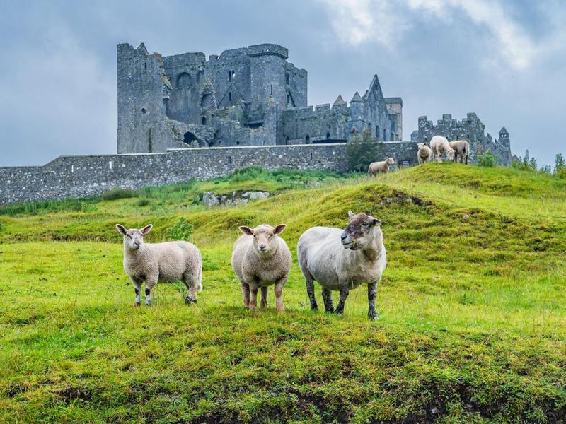 Sheep at Rock of Cashel, Ireland