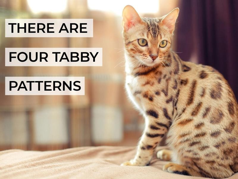 There Are Four Tabby Patterns