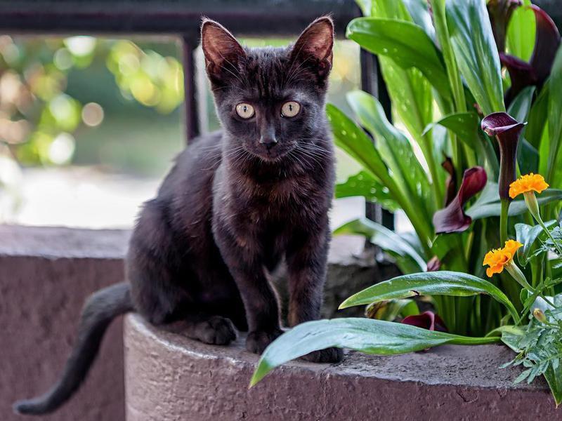 Cute black Bombay