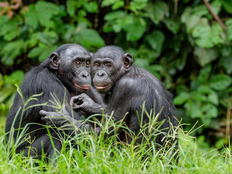 Bonobos in natural habitat