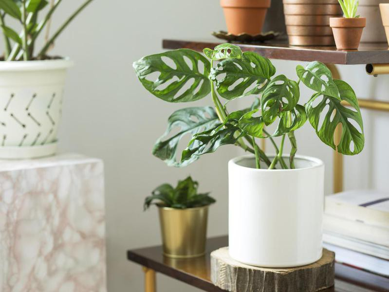 Swiss cheese plant in a white pot