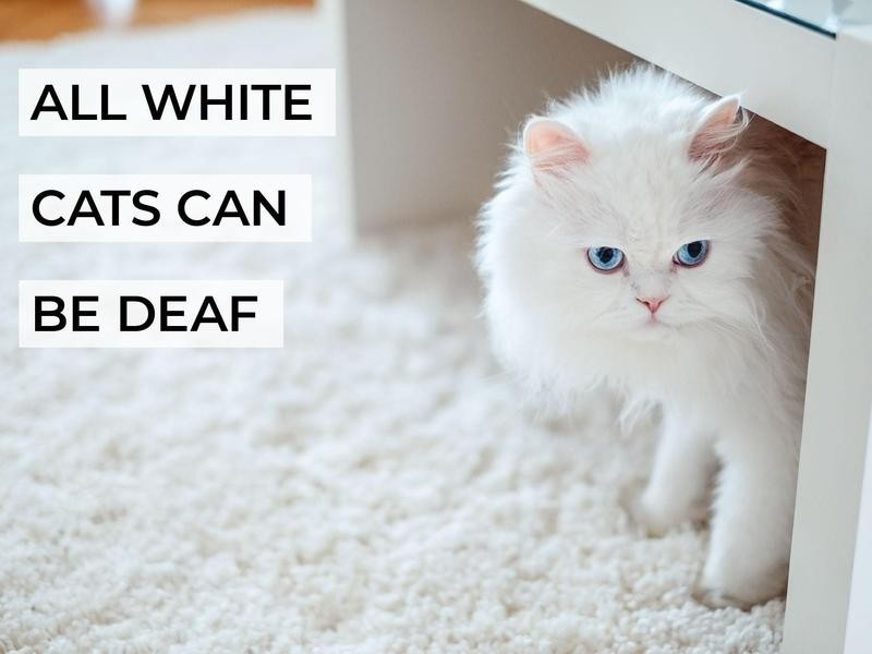 All White Cats Can Be Deaf