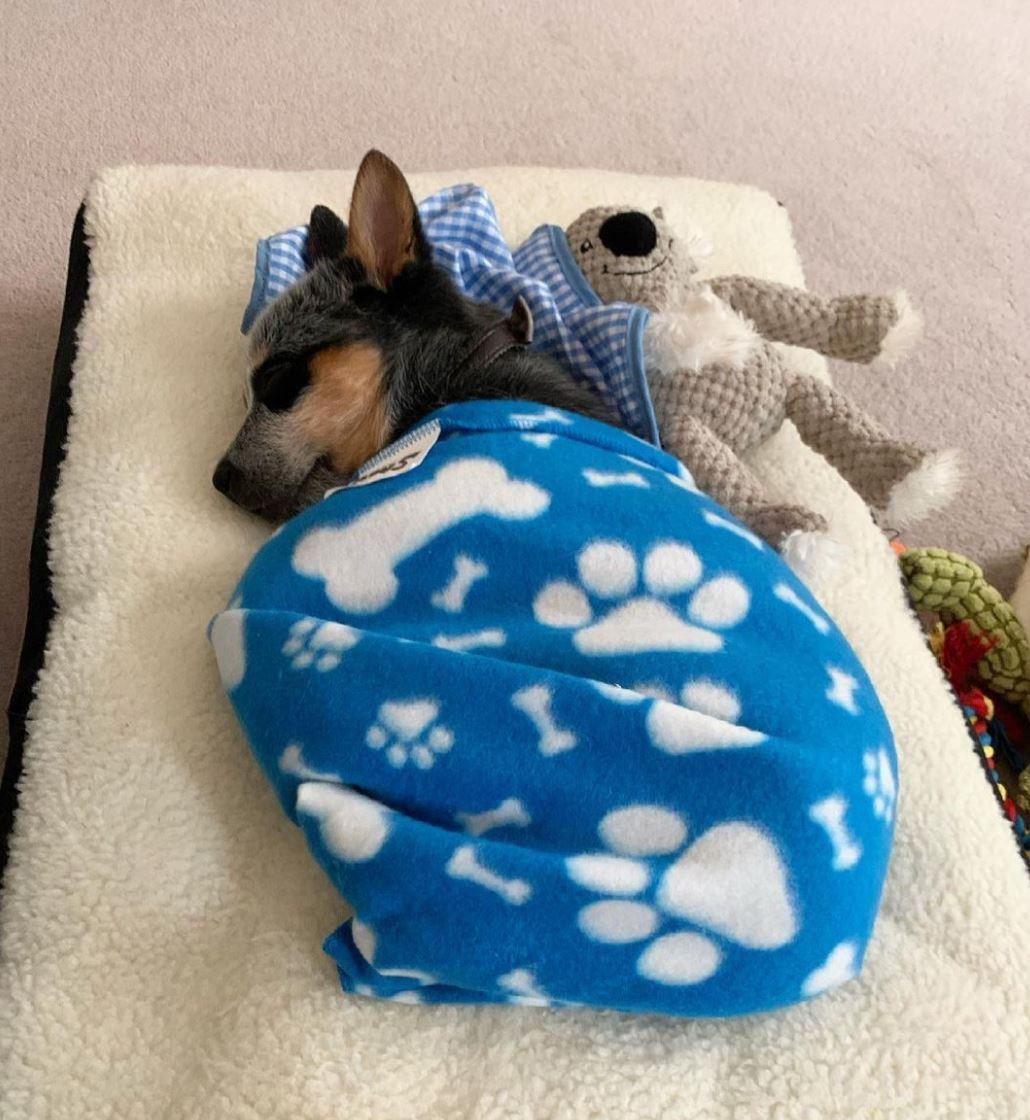 Cattledog puppy sleeping
