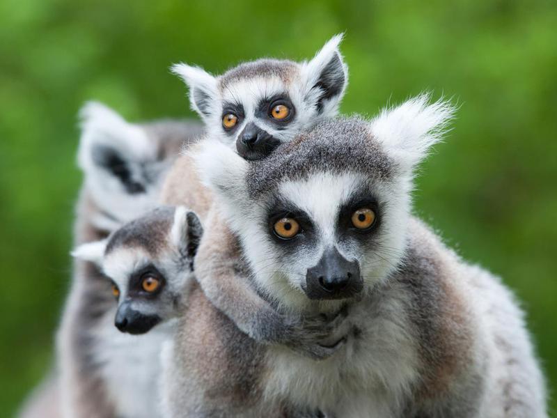 Lemur family in Madagascar