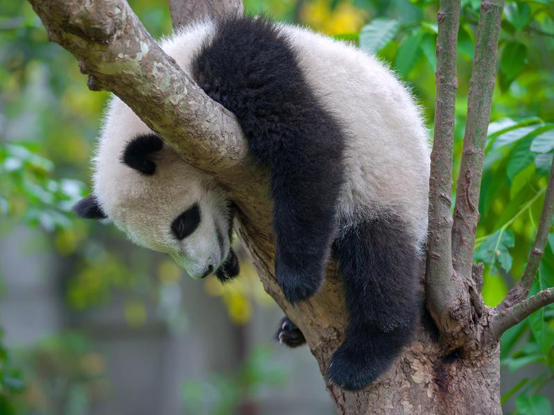 Can panda bears climb trees?