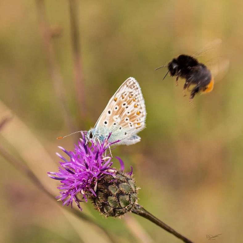 Bee photobombing moth