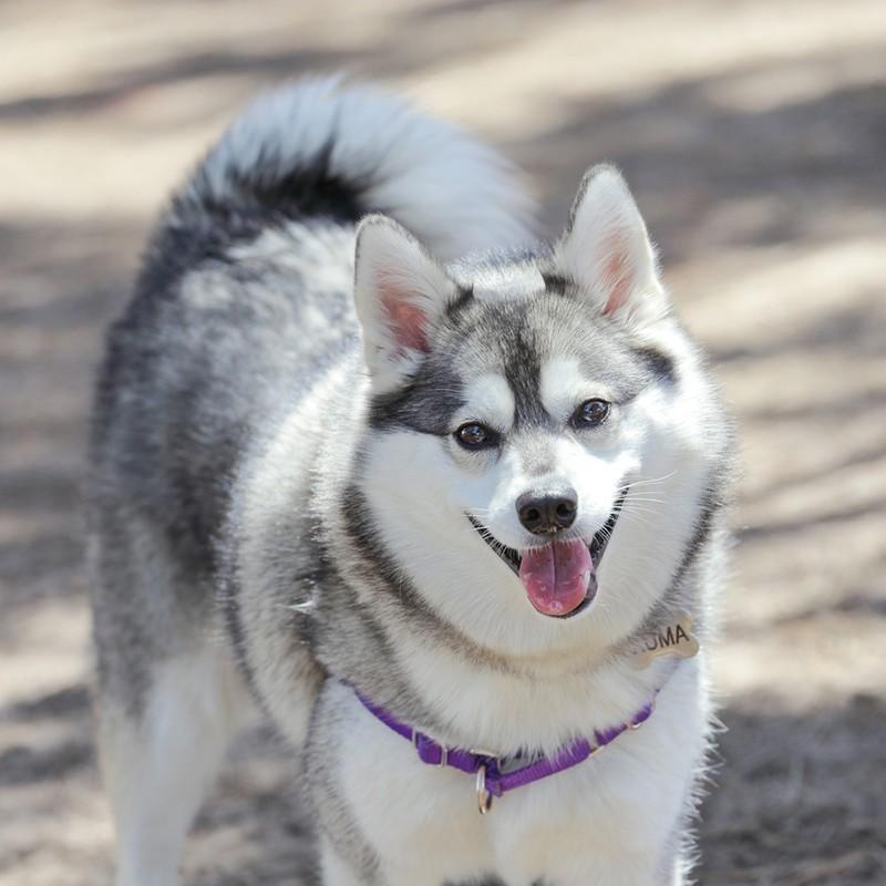 Alaskan Klee Kai