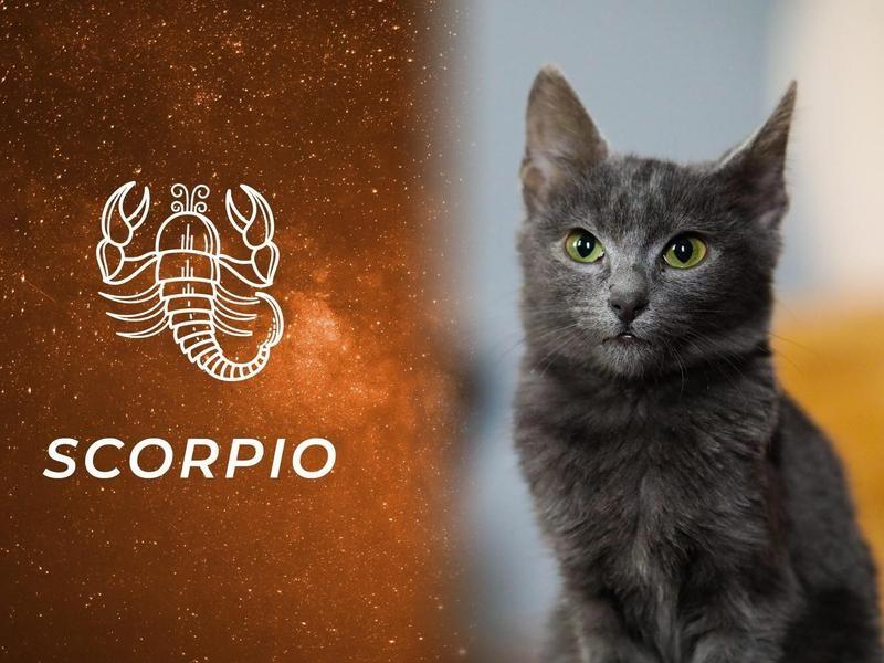Scorpio: Russian Blue