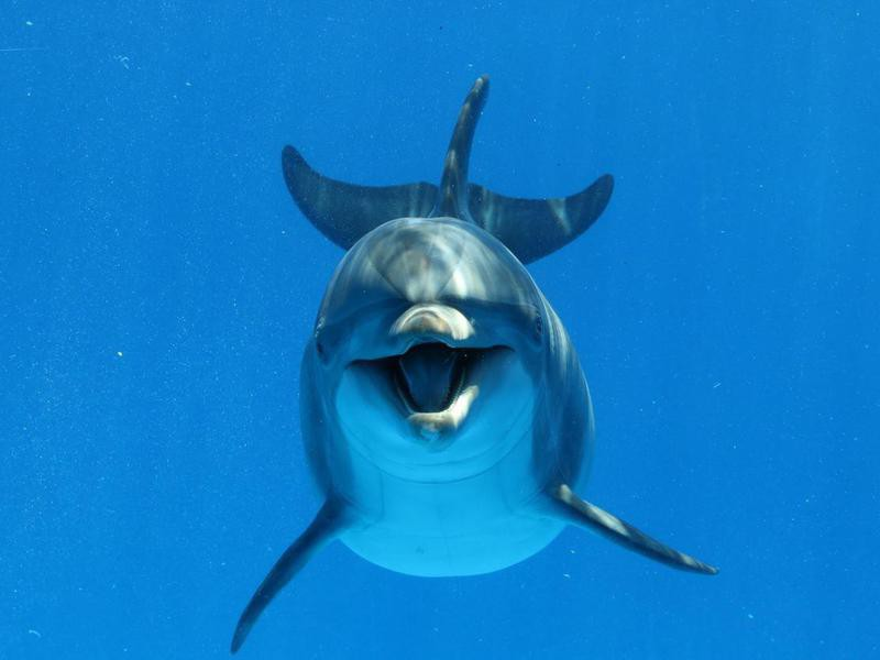 Bottlenose Dolphin swimming