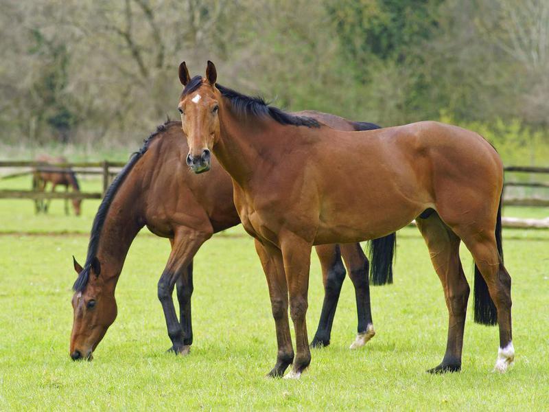 Bay horses grazing in pasture