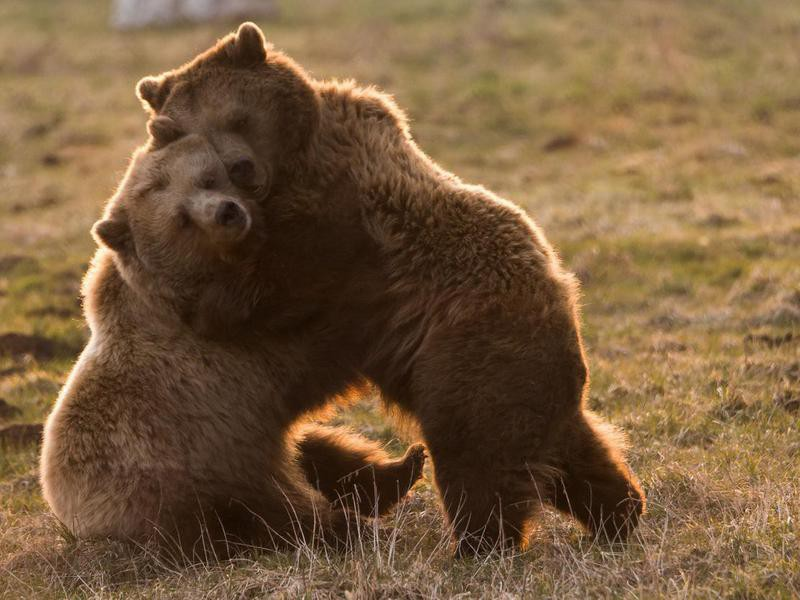 Two Bears Wrestling